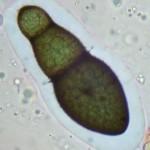 Splanchnonema foedans sp
