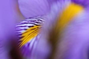 Iris unguicularis BOGA (1)