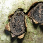 Biscogniauxia marginata