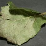 Phyllactinia guttata