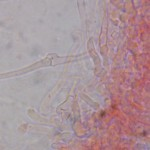 Calyptella capula clamp