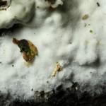 Saccoblastia farinacea fruitbody closeup