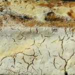 Ceraceomyces microsporus fruitbody