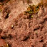 Hymenochaete cruenta fruitbody 1
