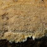 Hyphodermela corrugata fruitbody