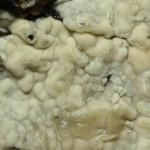 Conohypha terricola fruitbody closeup