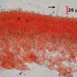 Conohypha terricola hymenium cut