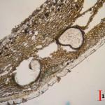 Vialaea insculpta perithecia cut
