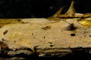 Aleurodiscus aurantius