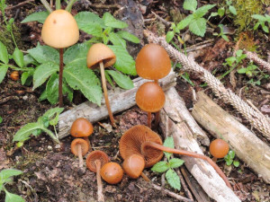 Conocybe pubescens