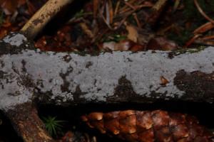 Exidiopsis grisea