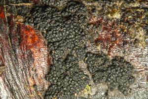 Gibberidea visci