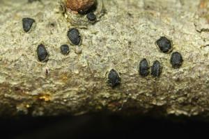 Holmiella junipericola