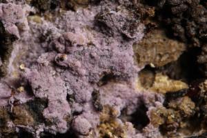 Hypochnella violacea