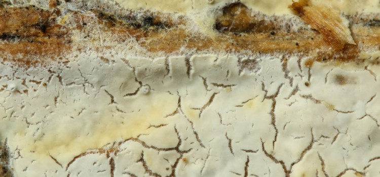 CERACEOMYCES MICROSPORUS
